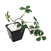 人工観葉植物 シュガーバイン BLK Sサイズ